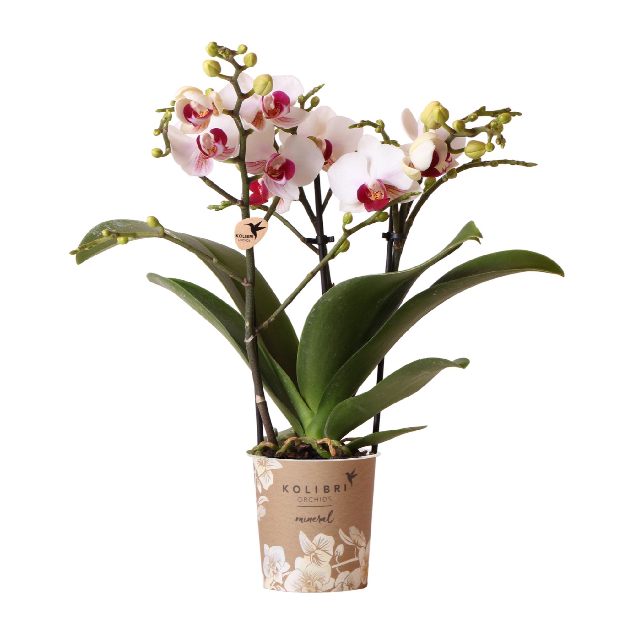 Kolibri Company - Kolibri Orchids Mineral white Gibraltar 9cm orchidee kopen