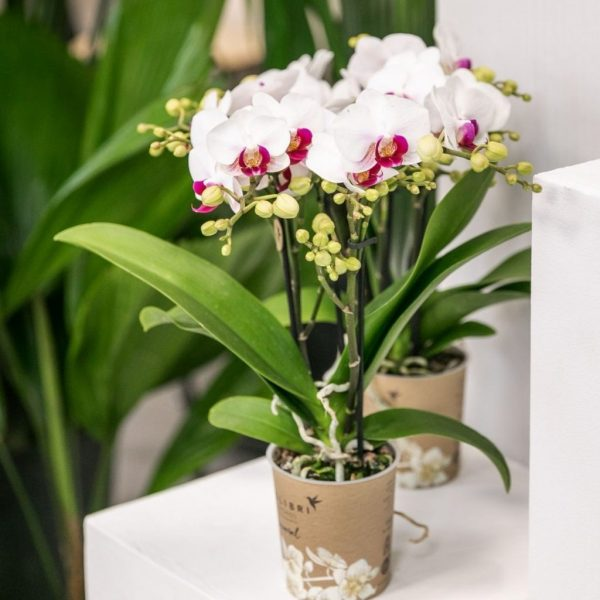 Kolibri Company - Kolibri Orchids mineral Gibraltar 9cm