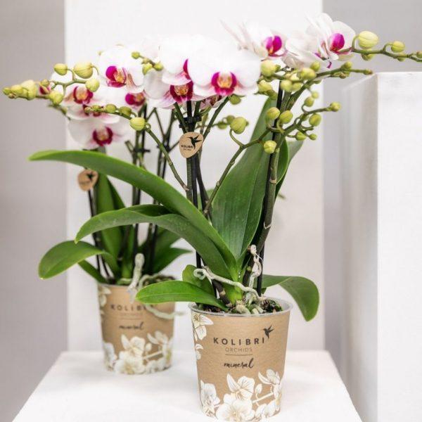 Kolibri Company - Kolibri Orchids mineral Gibraltar 9cm (2)