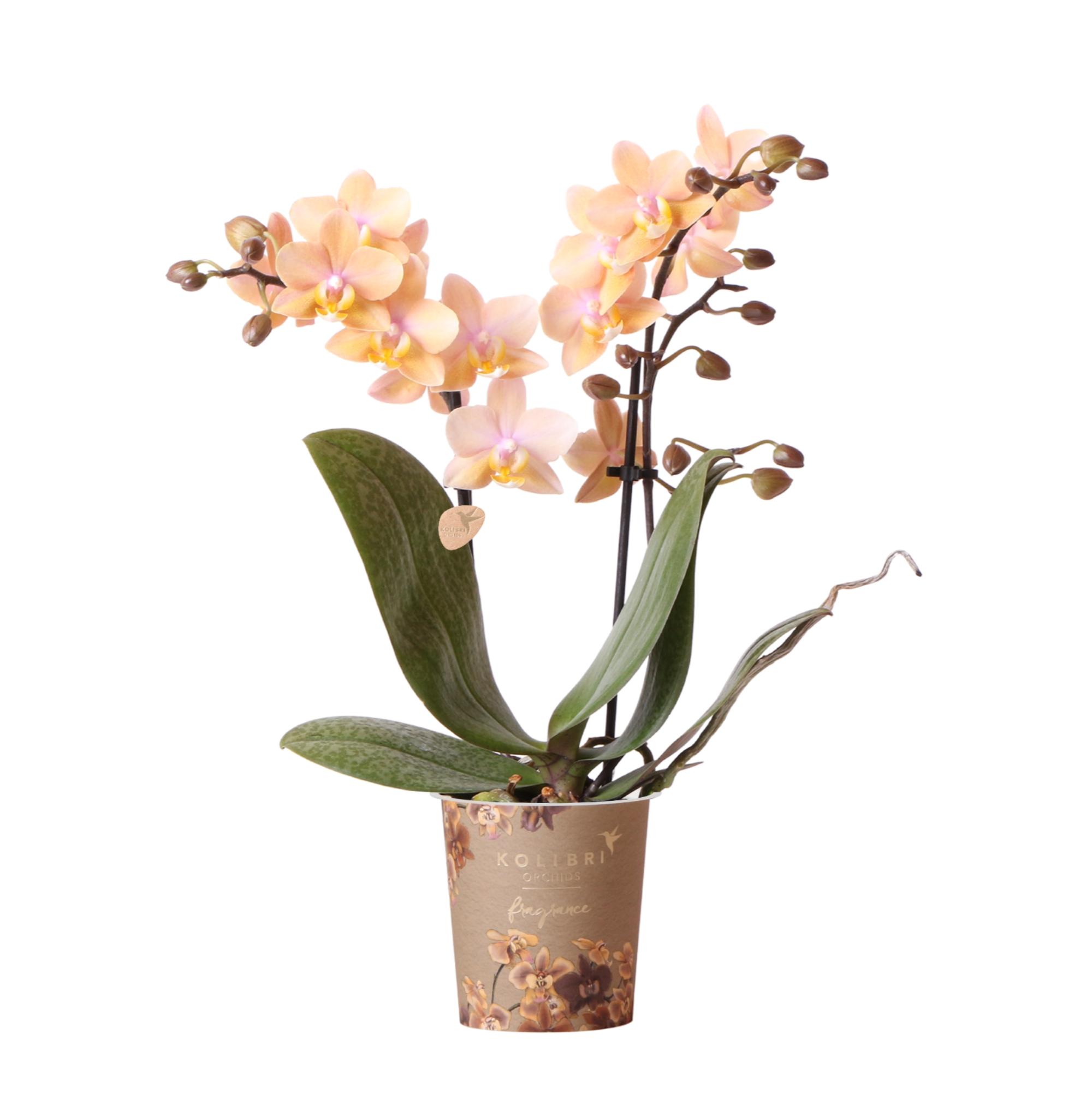 Kolibri Orchids Fragrance 9cm 2 spike