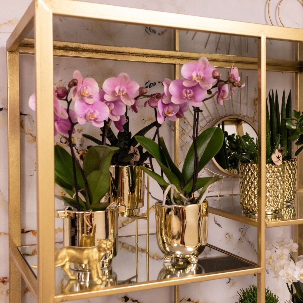 Kolibri Orchids - Jewel Italy 9cm (3)