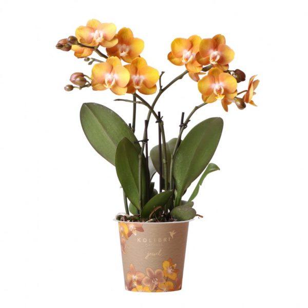 Jewel orchidee Las Vegas