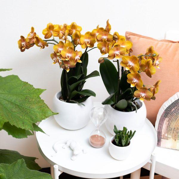 Kolibri Orchids Jewel orchidee Las Vegas 12cm (3)