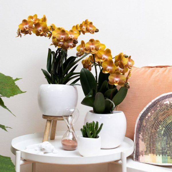 Kolibri Orchids Jewel orchidee Las Vegas 12cm (4)