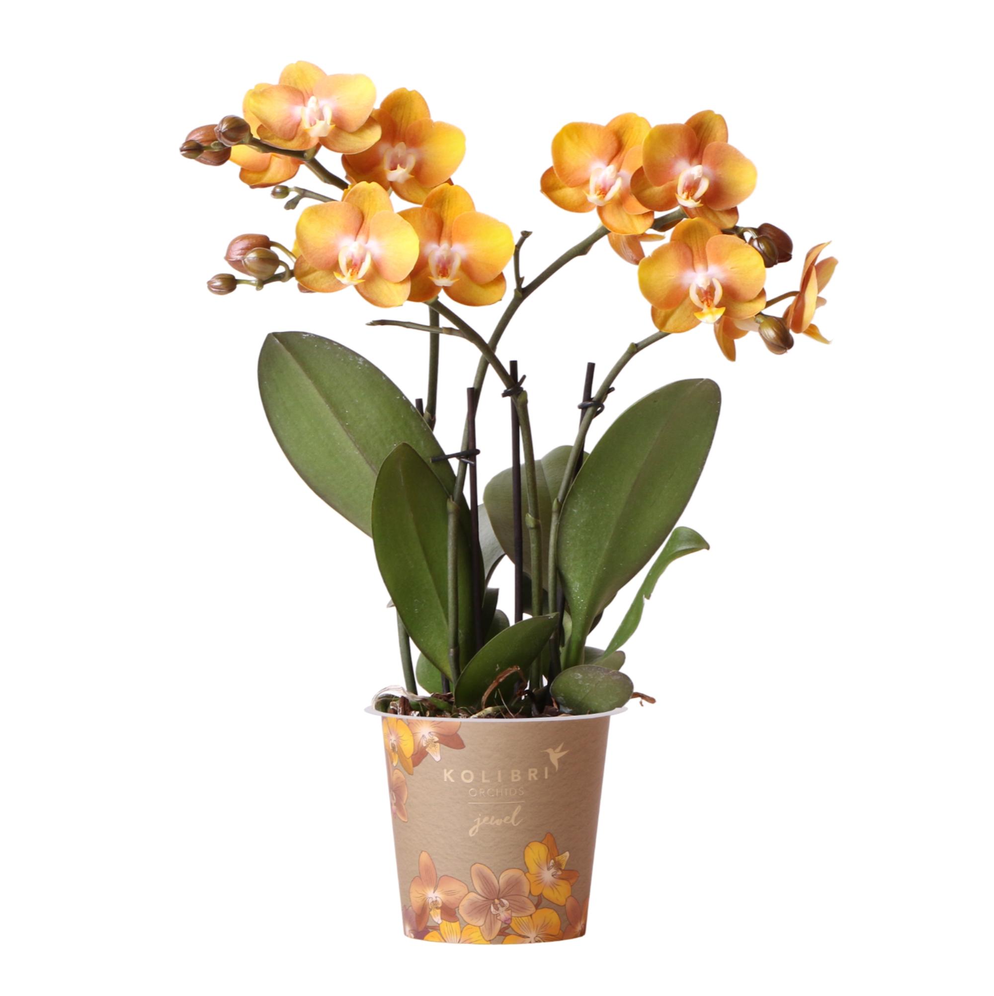 Kolibri Orchids - Jewel orchidee Las Vegas 12cm