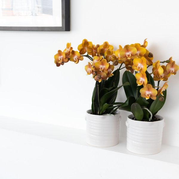 Kolibri Orchids Jewel orchidee Las Vegas in Jug white sierpot 12cm (3)