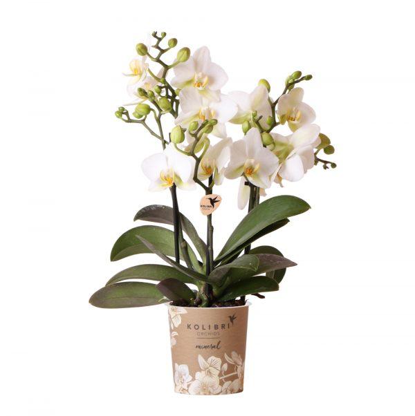 Kolibri Orchids Mineral white Lausanne 3 spike 9cm