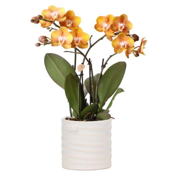 Kolibri Orchids Jewel orchidee Las Vegas 12cm in Jug white sierpot
