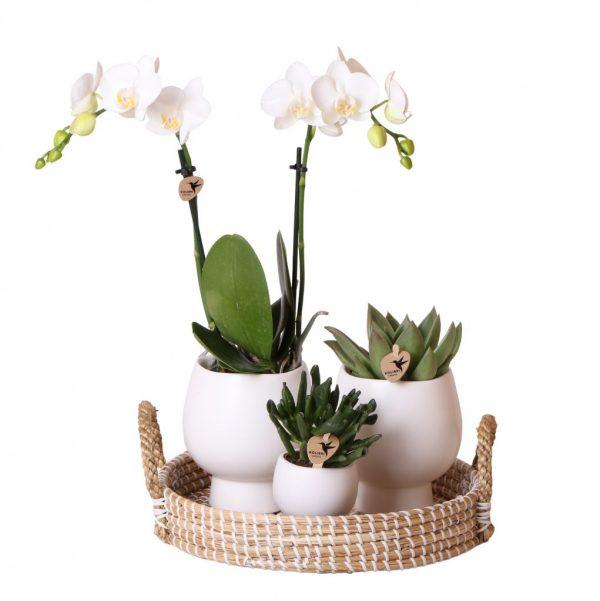 Kolibri Company - Complete planten set Scandic White 2 spike