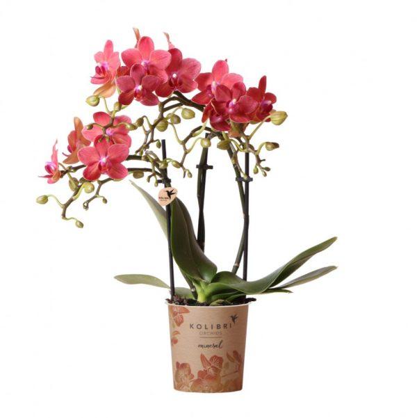 Kolibri Company - Mineral orchidee oranje Congo 9 cm