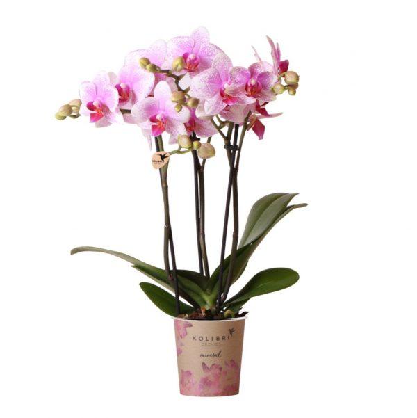 Kolibri Orchids Mineral Rotterdam 3 spike 9cm