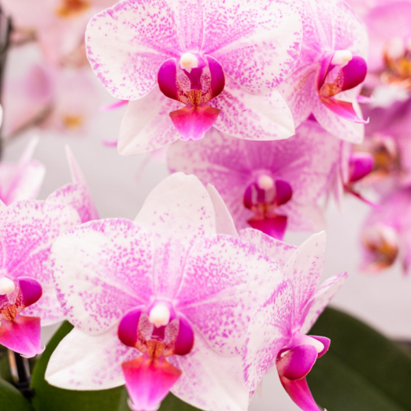 Kolibri Orchids Mineral orchidee Rotterdam 9 cm 3