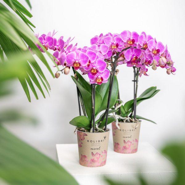 Kolibri Orchids Mineral pink Vienna 9 cm