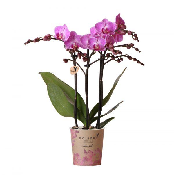 Kolibri Orchids Mineral pink vienna 3 spike 9cm