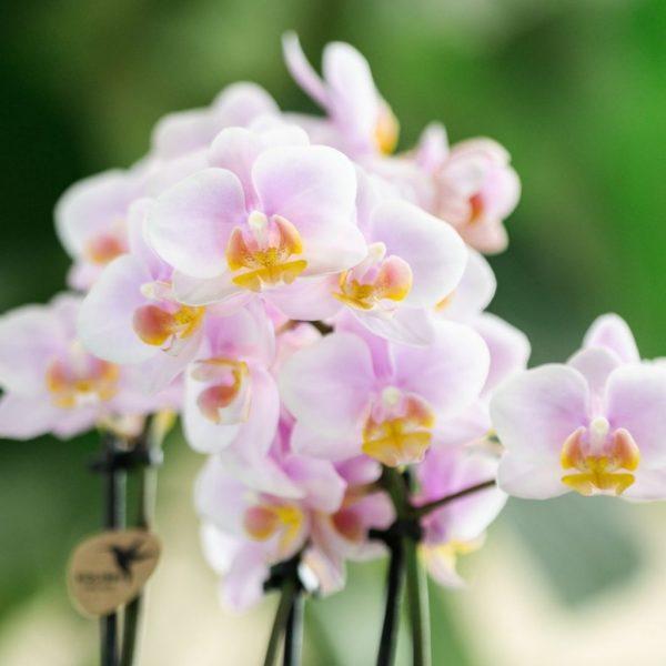 Kolibri Orchids mineral pink Andorra 3 spike 9cm (2)
