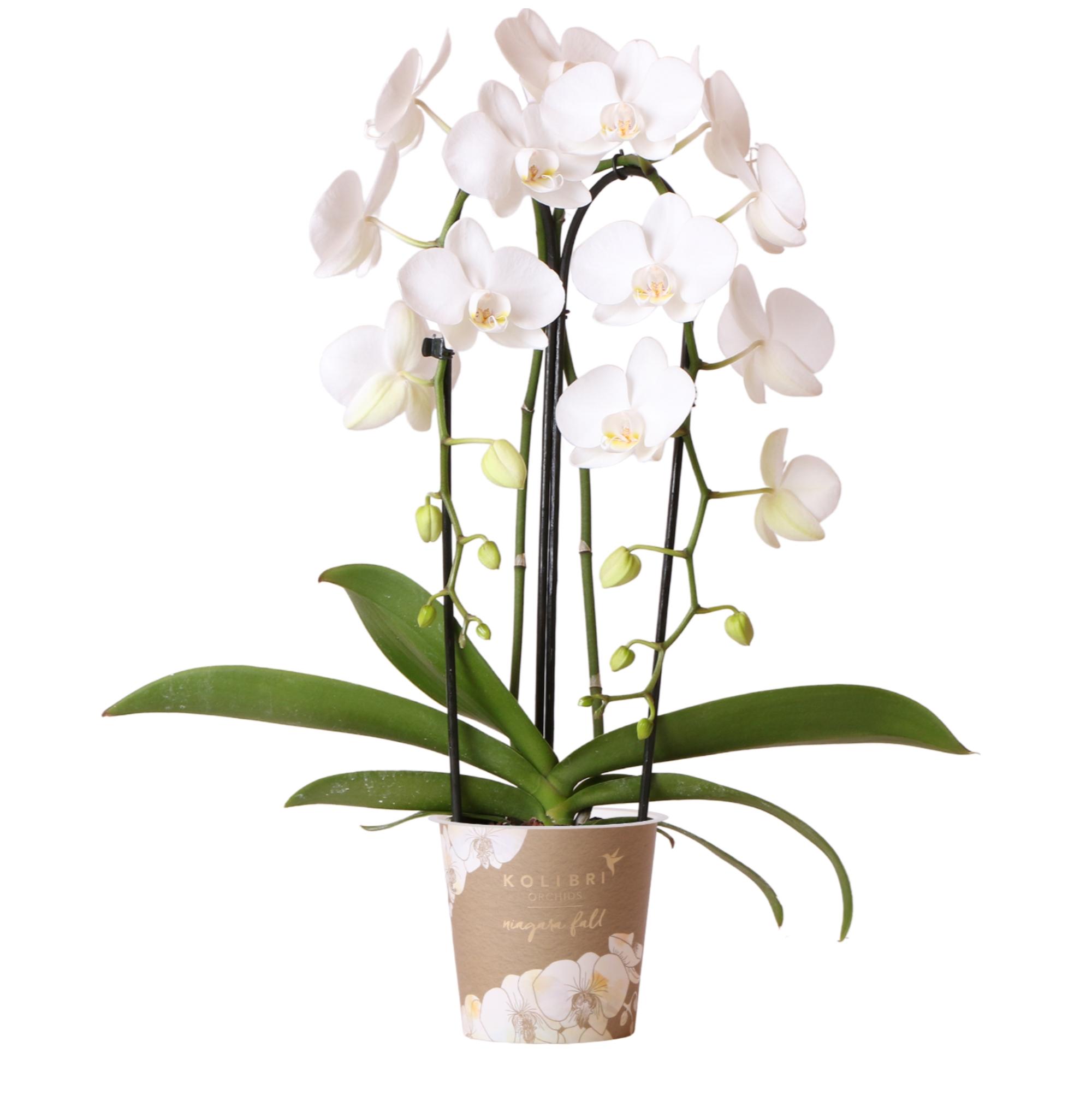 Kolibri Company - Kolibri Orchids Niagara Fall white 12cm orchidee kopen